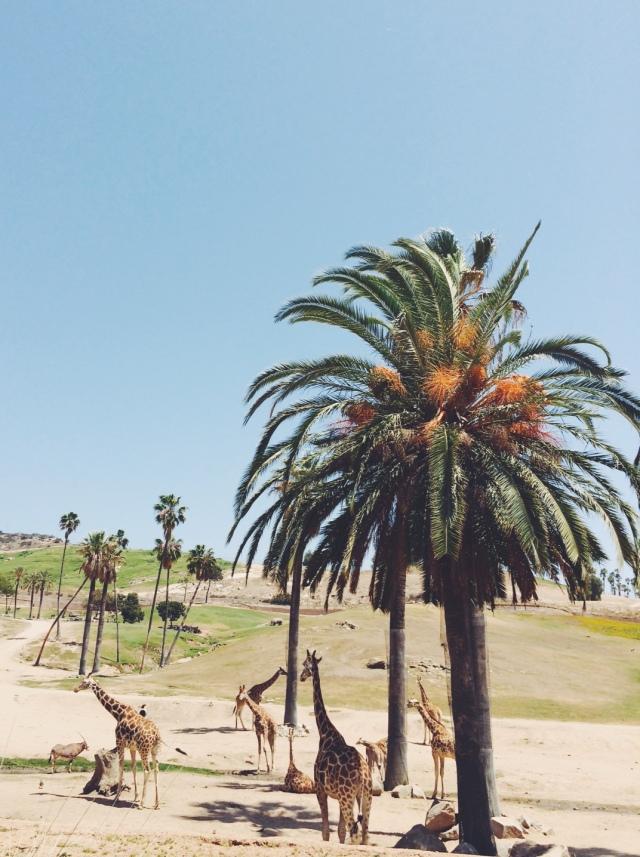 Giraffes in the wild | itsaLisa.com
