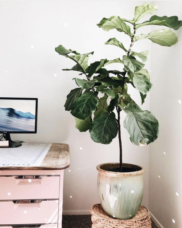 Fiddle Leaf Fig in modern chic bohemian home office, pink file cabinet by cb2 - Lisa's BohouHouse @BohoHouse_ATX